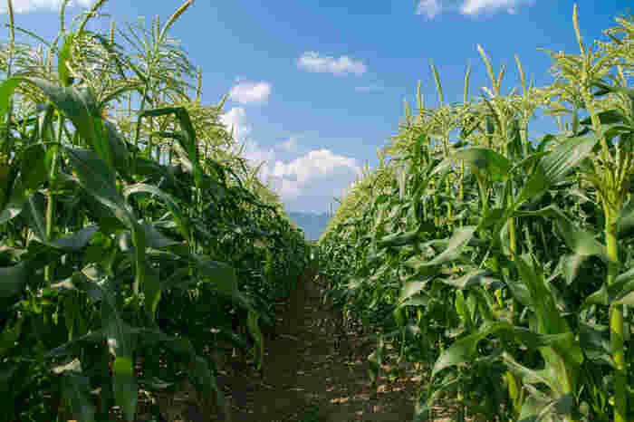 お子さんと一緒に、北海道らしく農作業を体験してみませんか?澄んだ空気や土に触れた思い出は、きっといつまでも心に残る大切なものになるでしょう。(お申し込みの際は、体験可能な年齢の確認を。)