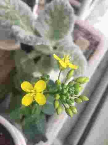 """また、春まで残しておいて花を咲かせると、早春の味覚、""""つぼみ""""が楽しめます。菜の花と同じ、小さくて黄色いかわいい花が咲きます♪"""