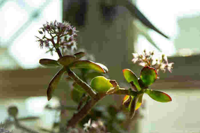 """500種類以上という豊富な原種を誇る「クラッスラ」。数センチ程度の小型なものから、3メートル以上の大型なものまで、とにかく種類が豊富。小さい葉・花が密集していたりと、ユニークな形状の品種も多いため、掘り出し物探しが楽しい植物でもあります。  今回初心者さんにおすすめしたいのは、「クラッスラ」属の代表格、カネノナルキです。そう、縁起物の観葉植物として親しまれている""""金のなる木""""。実は樹木ではなく、ぷっくりした葉を持つ多肉植物なんですよ。  湿度に弱いので、水やりは月に2度程度で、乾燥気味に。よく日に当てると赤みがでてきて、紅葉がきれいに映えます。"""