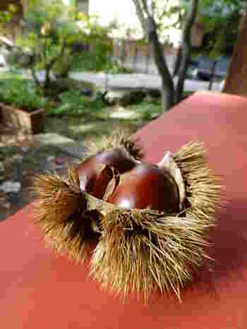 大きく、味のよい小布施栗は、江戸時代には将軍への献上栗でした。かつて何度も起こった松川の洪水が土質を酸性化し、栗の栽培に適した土壌を作ったことが始まりといわれます。