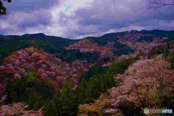 古くから桜の名所として知られている吉野山では、平安時代から桜が植樹され続けています。山全体を桜色に染める桜の木は約3万本にも及びます。