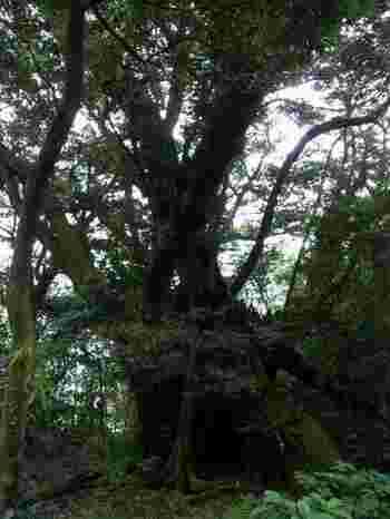 樹齢千年を超えるであろう巨樹も多く見られ、さらに日本一大きいと言われているスダジイの巨木も有名で、その姿に圧倒されます。