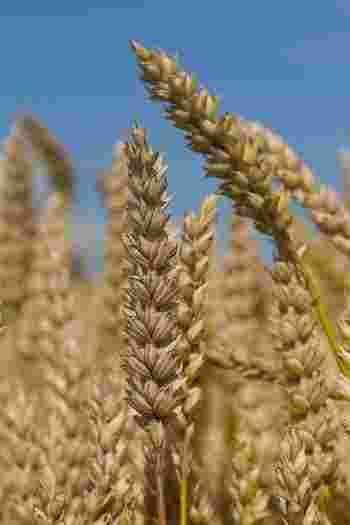 また、タリアテッレは主に軟質小麦粉を、フェットチーネは硬質小麦粉を使っているとも言われます。これは、それぞれの発祥地によって栽培される小麦の種類が異なるために生まれた特徴ですが、これも絶対のルールというわけではありません。 ちなみに、粒が脆い軟質小麦は薄力粉や中力粉に、粒が硬い硬質小麦はパン用の強力粉などによく加工される品種です。