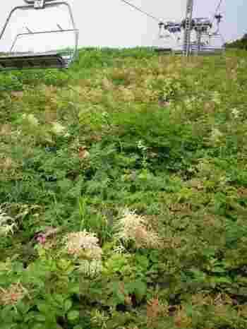 夏の晴れた日であれば青空と緑を楽しむことができます!足元には今にも届きそうな高山植物が咲いています。