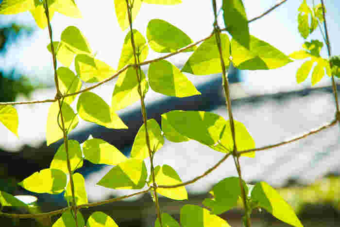 苗から始めるグリーンカーテン*おすすめ植物8種と作り方