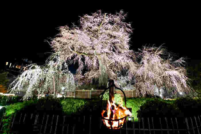 円山公園では、夜になると桜のライトアップが行われます。漆黒の世闇に浮かび上がる祇園枝垂れ桜の凛とした姿は美しく、思わずカメラに収めたくなる程です。