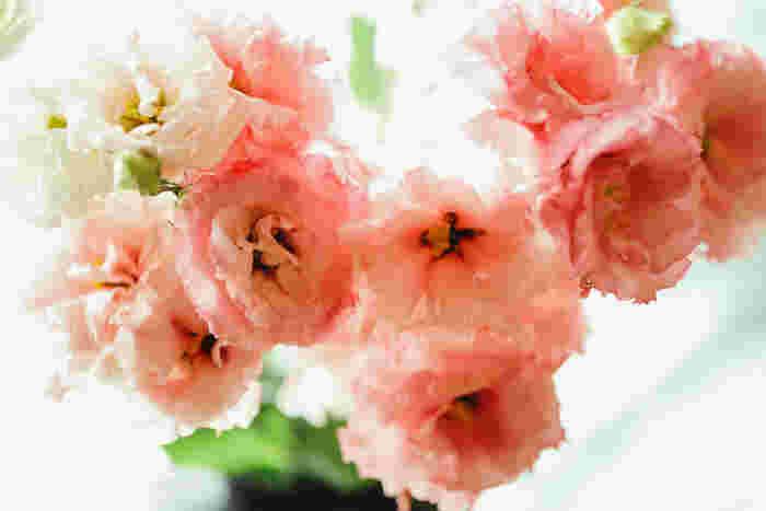 フリルたっぷりの花びらがいかにも女性的なトルコキキョウ。花言葉は「優美」「希望」「すがすがしい美しさ」などで、希望に満ちた人生をお祝いしたいという贈り手の思いを込められます。また、結婚式のブーケにも人気のお花です。