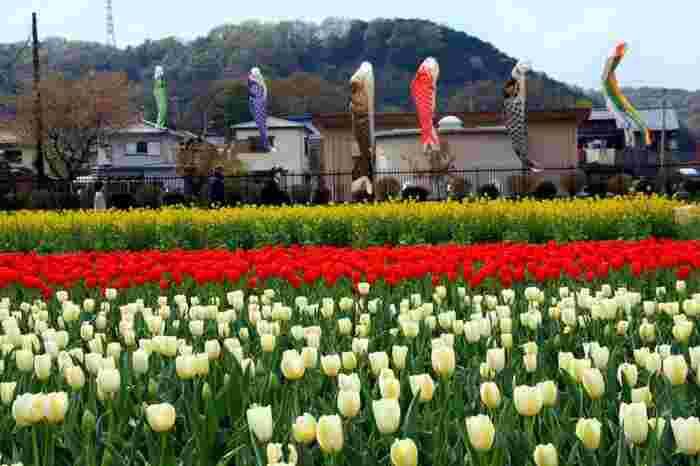 ゆったりとはためく鯉のぼり、赤と白のチューリップ、黄色の菜の花が織りなす景色は懐かしい佇まいをしており、郷愁を漂わせています。