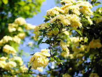 モッコウバラは、強くて育てやすい初心者向けのバラ。高温多湿でも大丈夫です。ただ、寒冷地での栽培はむずかしいようです。