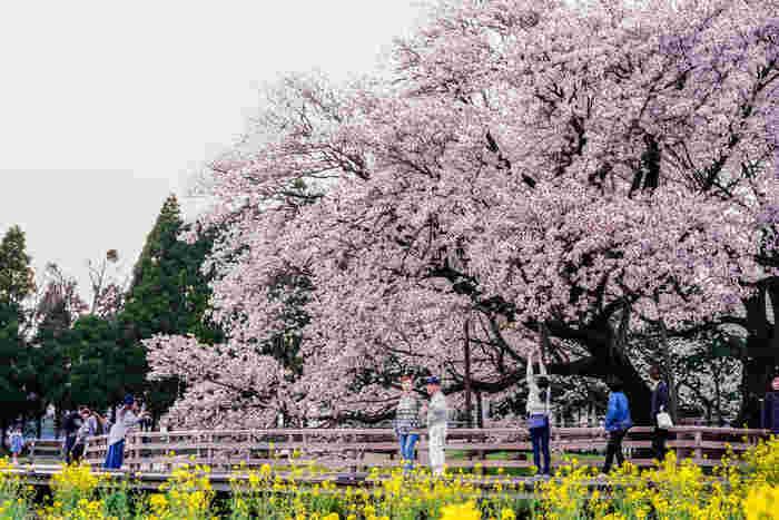 桜の木は1本だけですが、それでも歴史ある大桜を求めて県外からも多くの人々が訪れます。見頃は3月下旬~4月上旬で、3月下旬~4月上旬頃に「南阿蘇桜さくら植木まつり」が開催予定です。