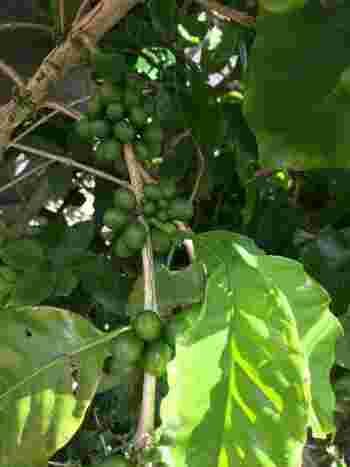 花が咲き終わって、うまく受粉できると実がなります。果実は、最初はころころとした小さな緑色の実をつけます。