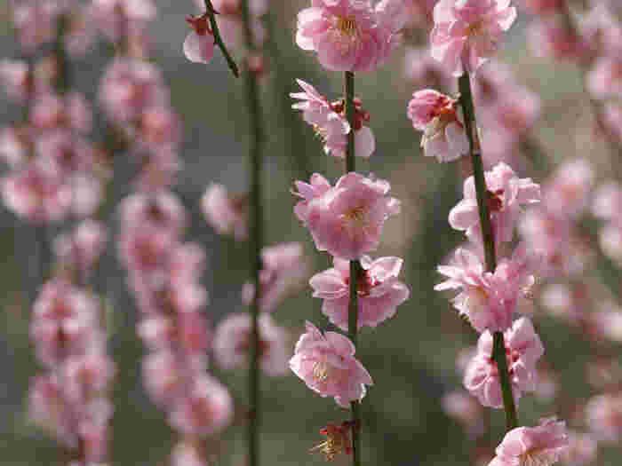 無限に続く梅林を歩いていると、淡桃色をした梅の花の雨が降り注いでいるかのような気分を覚えます。