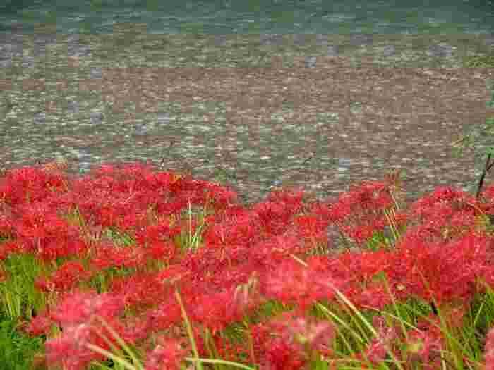 とにかく一面の赤なんです! 曼珠沙華(別名彼岸花)。仏様がいらっしゃる極楽浄土に咲くといいます。この中に立つとなぜか言葉を失ってしまうんです。