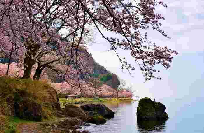 琵琶湖八景の一つである海津大崎は、日本最大の淡水湖、琵琶湖畔北部に位置する岩礁地帯です。滋賀県有数の桜の名所である海津大崎では約800本のソメイヨシノが植栽されており、琵琶湖の春に彩りを与えています。