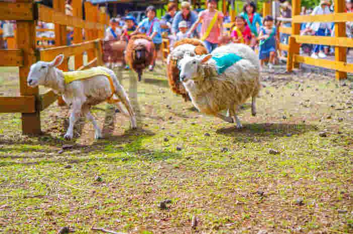 羊のかけっこショーでは、羊と一緒に障害物競争。子どもも大人も羊もおおはしゃぎです。1着になる羊の予想も楽しめます。