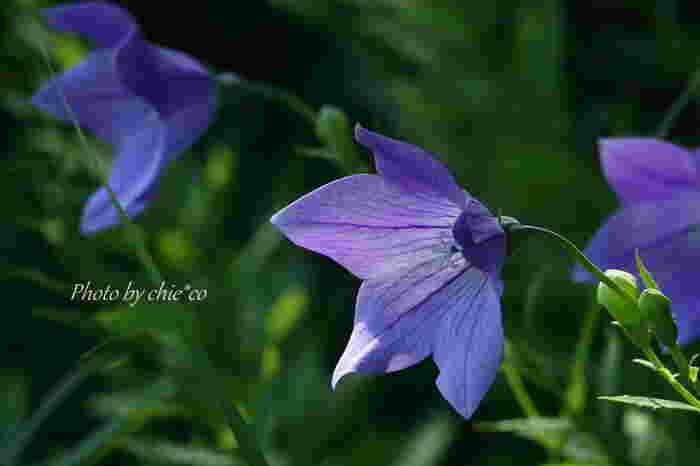 青紫色の美しい花が特徴の「桔梗」。花の形の美しさから、明智光秀が水色桔梗を家紋に用いたことでも知られています。「清楚」「気品」といった花言葉のとおり、凛とした姿で私たちを魅了します。
