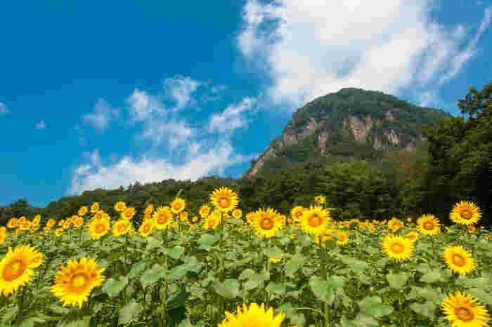 雄大な岩山(大岩)をバックにしたひまわり畑は大迫力!8月中旬〜下旬まで、約40万本のひまわりを楽しめます。