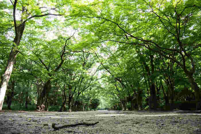 """【""""糺の森""""は、マイナスイオンいっぱいの癒しの森】  ここ「下鴨神社」は、緑深く自然豊かな場所。""""糺の森(ただすのもり)""""と呼ばれる、広大な鎮守の森(社叢林)が、表参道の両側に広がっています。"""