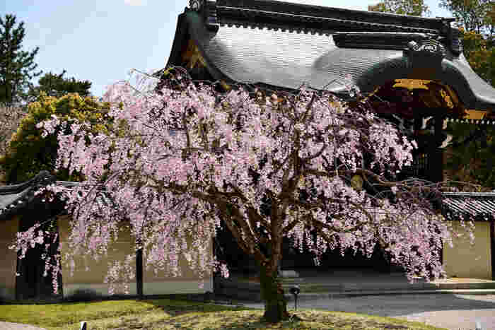 嵯峨野の奥地に建立する旧嵯峨野御所大覚寺は、嵯峨天皇の離宮を寺として改めた真言宗の寺院です。唐門風の勅使門の傍には枝垂れ桜が植樹されており、威風堂々たる佇まいをした勅使門の風格に華を添えています。