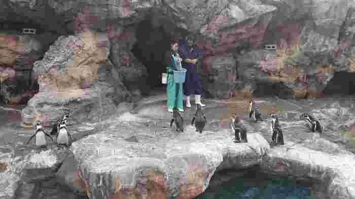 不動の人気とも言えるペンギンの食事タイム。飼育員に集まってくるペンギンたちの中には、エサをしっかりキャッチできるしっかり者もいれば、マイペースに待っている者など、個性豊かです。それぞれの性格によって異なるペンギンたちを観察してみましょう。