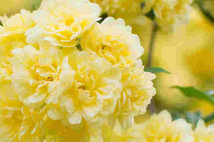 モッコウバラの花色は白と黄の2色があり、白モッコウ、黄モッコウとも呼ばれます。さらにそれぞれ一重と八重の花がありますが、街中でよく見られるのは八重のものですね。