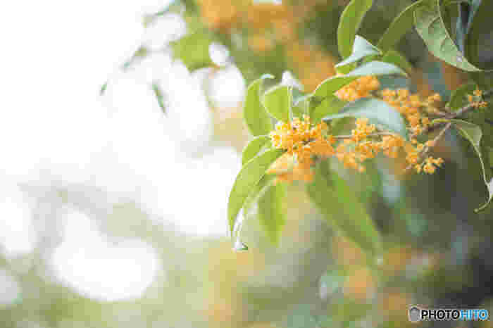 モクセイ科モクセイ属の常緑小高木樹。」秋晴れが続く日に、どこからともなく甘く濃厚な香りが漂ってきたら、まちがいなく近くにはこの花が♪秋の季語で、市や区、町や村の木に指定している自治体も少なくありません。