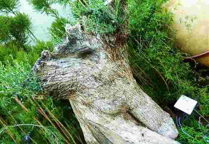 推定で樹齢500年と言われるオリーブの大木はスペインから運ばれました。