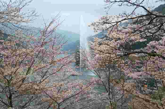 市房ダム湖には、高さ80mの大噴水があります。平成15年(2003年)に開始された大噴水は、1回500円(10分)で風が吹くと虹が見えることも!大噴水と桜のコラボレーションは、この場所ならではの風景です。