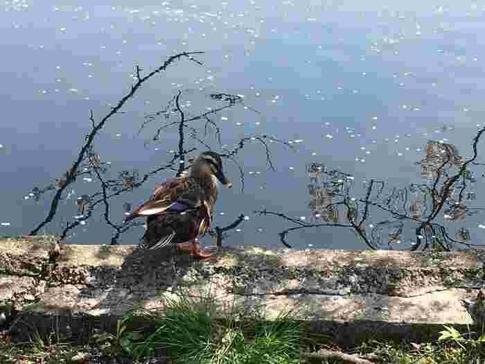 また「不忍池」には、動植物が多く棲息しています。中でも鳥類は多く、渡り鳥、留鳥(とどめどり/一年を通じて同じ地域に棲息する鳥)合わせて数十種類の鳥類が、一年を通じて観察できます。【桜花浮かぶ頃の「不忍池」と鴨】