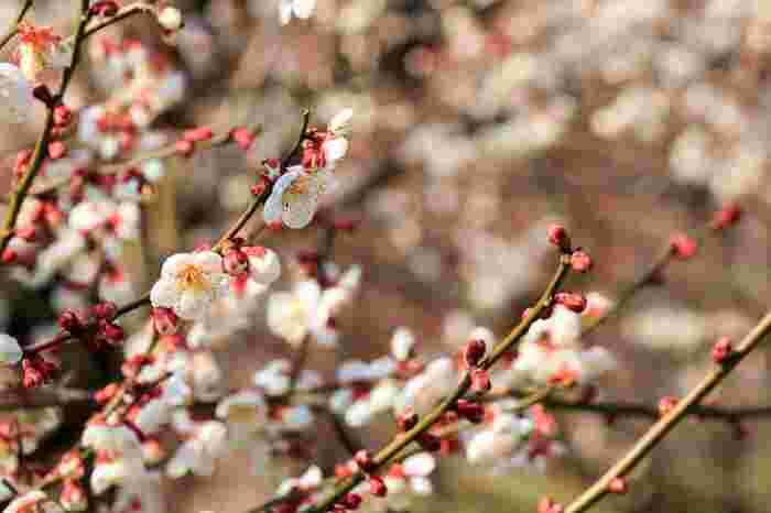 様々な種類がある梅の花。可愛らしく可憐な梅の花を見て、少し早い春を感じにおでかけしてみはいかがでしょうか。寒さの中に温かい陽気を感じられるはず。