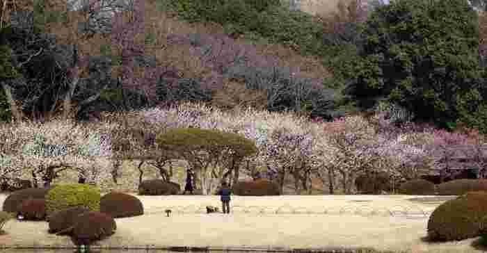 徳川家康の家臣の屋敷跡とされる「新宿御苑」は、農業試験場、皇室庭園を経て、戦後に国民公園として公開されました。周囲3.5km、広さ58.3haもの広大な園内には、風景式庭園・整形式庭園・日本庭園がデザインされ、近代西洋庭園の名園といわれています。1月下旬~2月上旬にはロウバイが、2月下旬~3月上旬には梅林全体が見頃を迎えます。