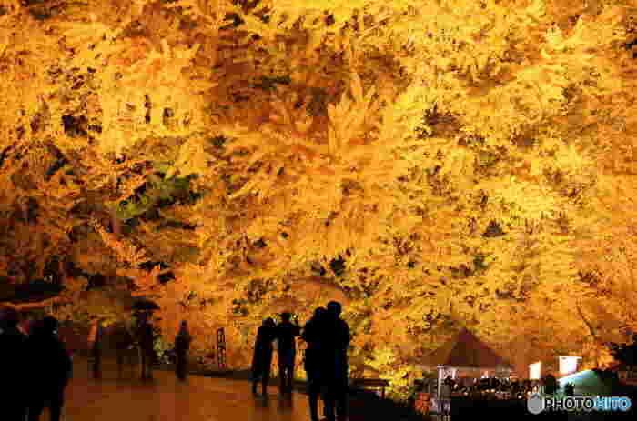 最後にご紹介するのは、深浦町にある日本一の大きさを誇る大イチョウ(銀杏)。樹齢はなんと1000年超え。県内のほかの紅葉スポットよりも見頃が遅く、11月中旬~下旬ごろに見頃を迎えます。紅葉の見頃になると夜間にライトアップされ、圧巻なイチョウを堪能することができます。