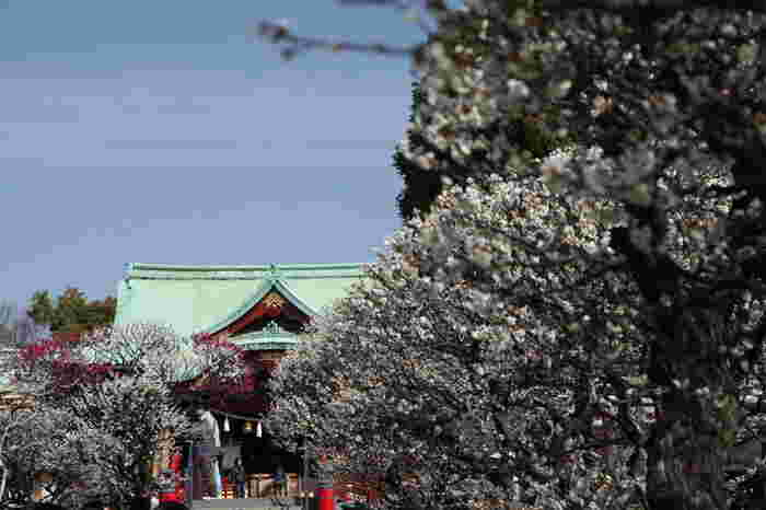 「亀戸天神社」も菅原道真公をお祀りしています。御本社の九州太宰府天満宮に対して、こちらは東国天満宮の宗社として称されてきた由緒ある神社です。菅原道真公が梅の花を好み、多くの和歌を詠まれたため、境内には300本以上の梅の木が植えられています。