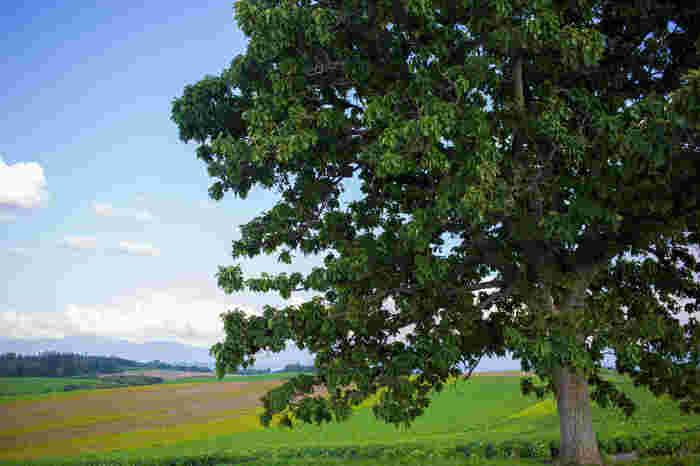 こちらも美瑛の丘を代表する景観「セブンスターの木」です。 この周辺は「パッチワークの路」と呼ばれ、色とりどりの花や緑が重なり合う素晴らしい景観が楽しめるスポットとして有名です。