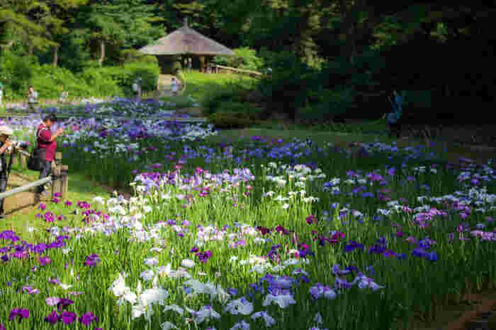 四季折々の花々が楽しめる「明治神宮御苑」は、歴史を江戸時代初期までさかのぼれる由緒正しい名苑です。特に例年6月中旬、花菖蒲の見ごろを迎え多くの人で賑わいます。(拝観には、別途御苑維持協力金が必要です。)