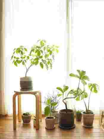 インテリアグリーンを集めて飾るときには、「高低差をつける」と楽しい雰囲気に。こちらのお宅のように、スツールの上に置いたり、床に直置きしたりとランダムに並べることで、それぞれのグリーンの存在感が際立ちます。