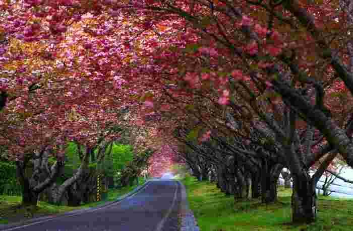 """""""八重桜""""とは、1つの品種に限らず、八重の花をつける桜の品種の総称。ソメイヨシノが咲き終わり、春たけなわにさしかかる頃、豪奢な八重咲きの花を咲かせます。"""