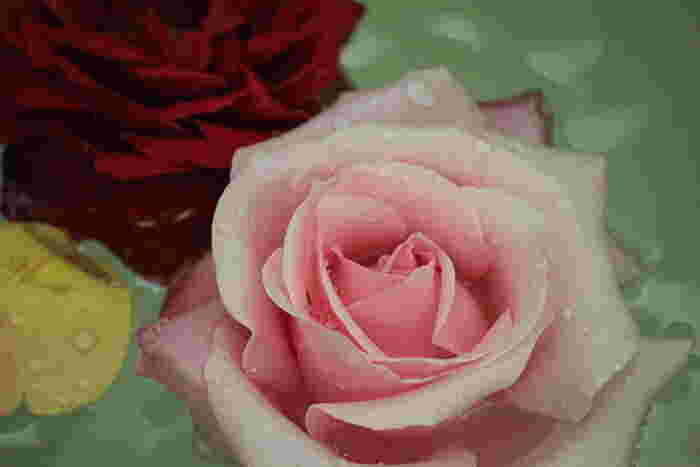 やさしいカラーがいかにも女性らしいピンクのバラ。花言葉も「しとやか」「可愛い人」「美しい少女」「上品」など、魅力的な女性にぴったりの言葉ばかりです。