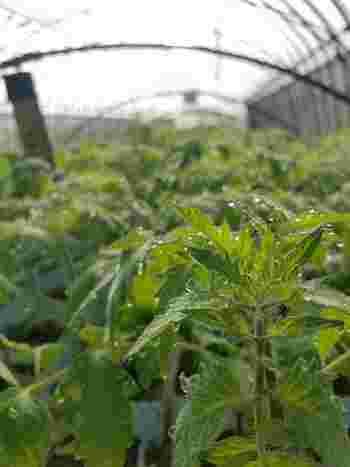 苗を植えたあとは、午前中のなるべく早い時間に水やりをしましょう。早い時間帯の方がいいのは、トマトが太陽の光を浴びて光合成を始める前のため。人もご飯をちゃんと食べたあとの方が、しっかり動けますよね。