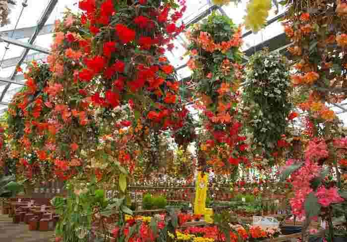 関東以北で最大規模のベゴニア園が、鬼怒川にあります。「日光花いちもんめ」は温室で、室温が15~25℃に保たれているので、暑い日も寒い日も快適。雨天の観光にもおすすめですよ。