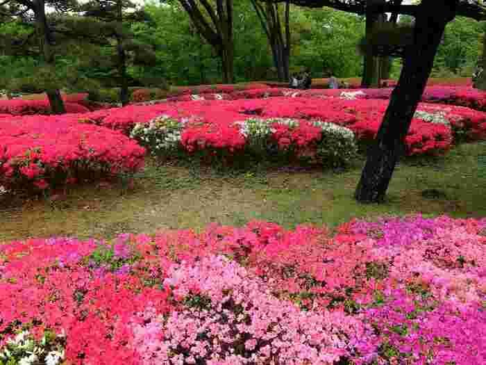 つまり、休園日と公開時間外を除けば、思い立ったらいつでも、皇居内の豊かな自然の中で一時を過ごすことが出来るのです。【二の丸庭園に咲くツツジ(4月中旬撮影)】