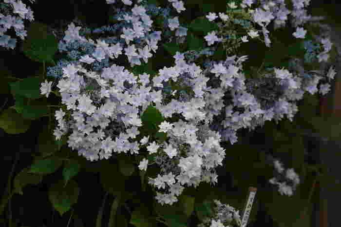 毎年梅雨の時期になると百花園のアジサイは見頃を迎えます。ここでは、星のような形をした花びらの可愛らしいアジサイを観賞することができます。