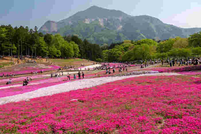 西武線の横瀬駅、秩父駅から徒歩約20分ほどのところにある「羊山公園(ひつじやまこうえん)」は、春におすすめの観光スポット。毎年3月下旬から4月中旬頃まで、約17,600平方メートルの広さに9種類、40万株以上の芝桜が花を咲かせて、まるでピンク色のじゅうたんのよう。丘の向こうに見える武甲山の緑とのコントラストも美しく、例年100万人近い観光客が訪れます。