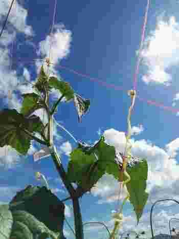 きゅうりは長時間の日当りを必要とする陽性植物です。日中を通して太陽の光を遮るものがなく、風通しの良い場所を選んでプランターを置きましょう。また、近くに植えた他の植物の葉が影を作ったりしないかもよく確認して下さいね。