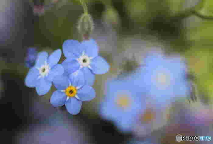 小さなブルーの可憐なお花が人気の勿忘草(わすれなぐさ)は、とても分かりやすい花言葉を持っています。その名の通りの「私を忘れないで」という花言葉。ドイツ名や英名でも同じ意味の名前を持っています。世界的に、同じ意味の名前を持つお花というのは珍しいんですよ。