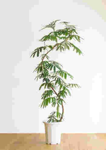 小さな葉の集まりと、しなやかな樹形が特徴的なエバーフレッシュ。夜になると広げていた葉を閉じて眠る性質があり、昼と夜とでは異なる表情を見せてくれます。「おはよう」「おやすみなさい」と思わず声をかけたくなってしまいます。一緒に暮らしていることをより身近に感じられるおススメの植物です。