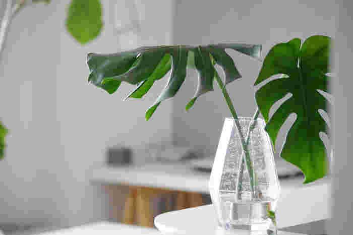 モンステラの葉っぱを切って水に挿すだけで、こんなにも夏っぽい飾り方ができます!クリアなガラスベースに活けるのが涼し気に見せるポイント。モンステラが立派に育ってきたらぜひ試したい方法ですね。