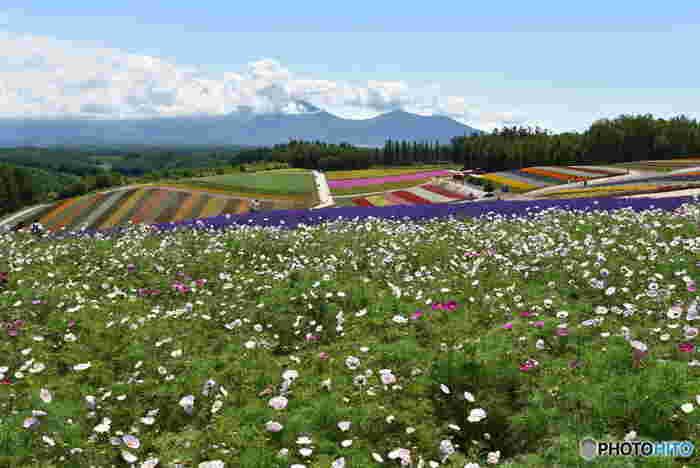 北海道を代表する観光名所として親しまれている四季彩の丘は、約7ヘクタールに及ぶ小高い丘に広がるお花畑です。