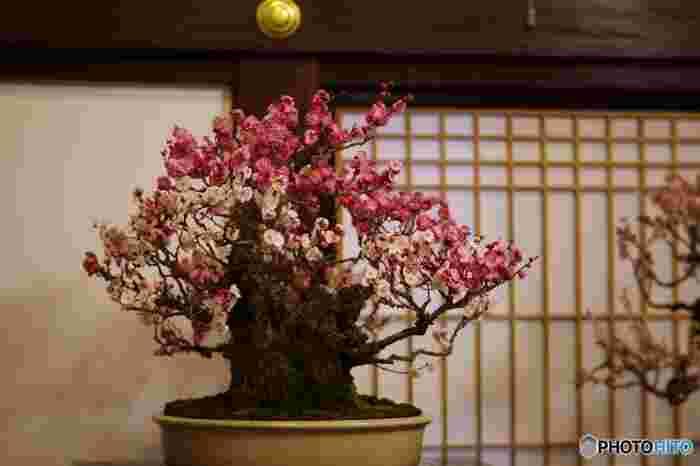 紅白の梅の花が鉢の上で咲き誇っている様子は、まるで小さな美しい日本庭園を見ているかのような気分になります。