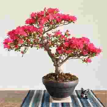 つつじやキリシマなどのミニ盆栽がおすすめです。また、もみじやケヤキなどは初夏に新緑を、秋には紅葉が楽しめますよ。